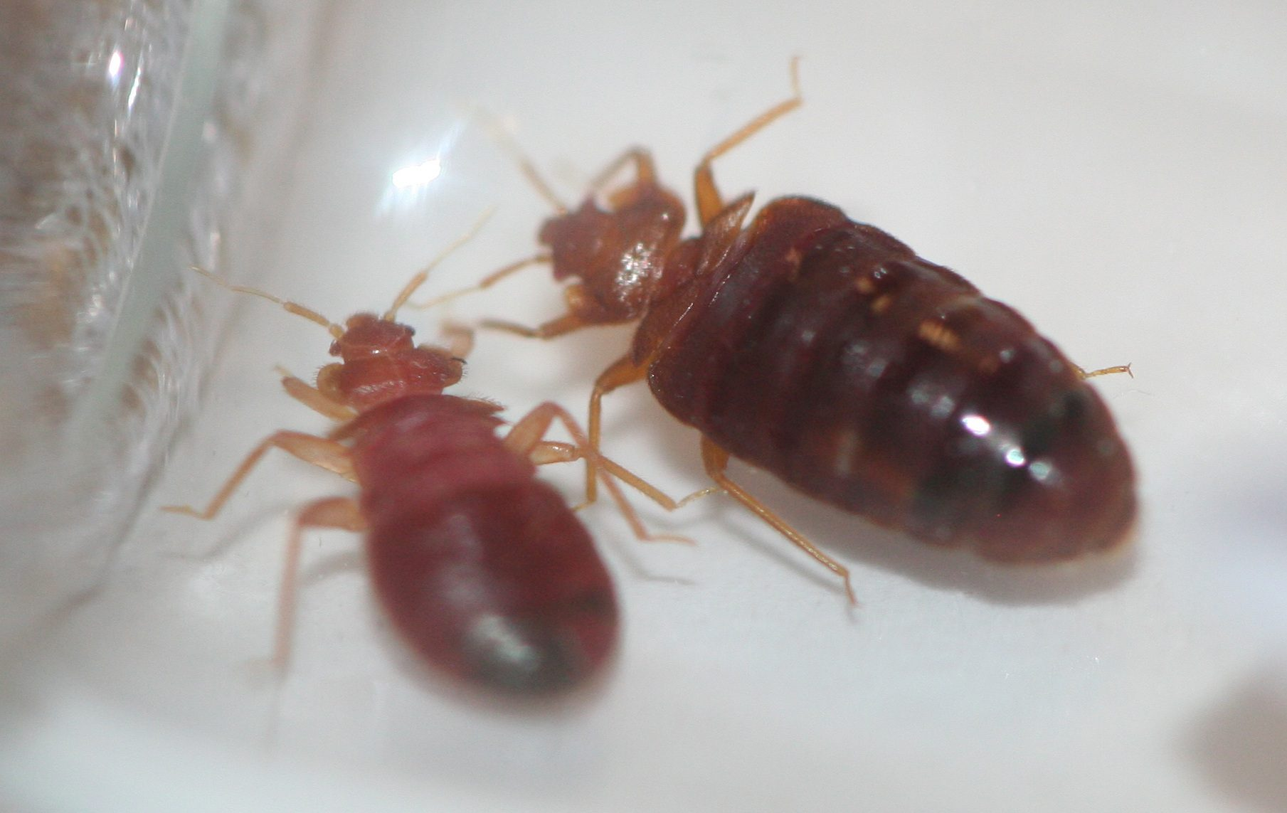 Bed Bug Exterminator in Bay Area, Bed Bug Pest Control by ... Pictures Of Bed Bugs