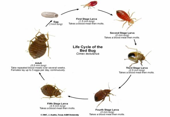 Bed Bug Exterminator In Bay Area Bed Bug Pest Control By
