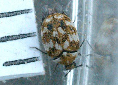 Carpet Beetles Pest Control By Planet Orange