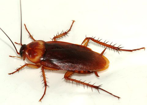 What does a wood cockroach look like