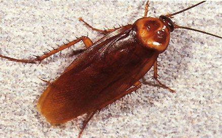 How does a cockroach look like 10