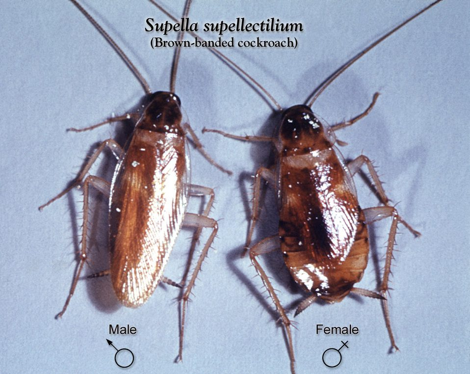 Insects Resembling Bedbugs  Bug That Looks Like a Bed Bug