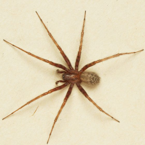 Common House Spider. Spiders