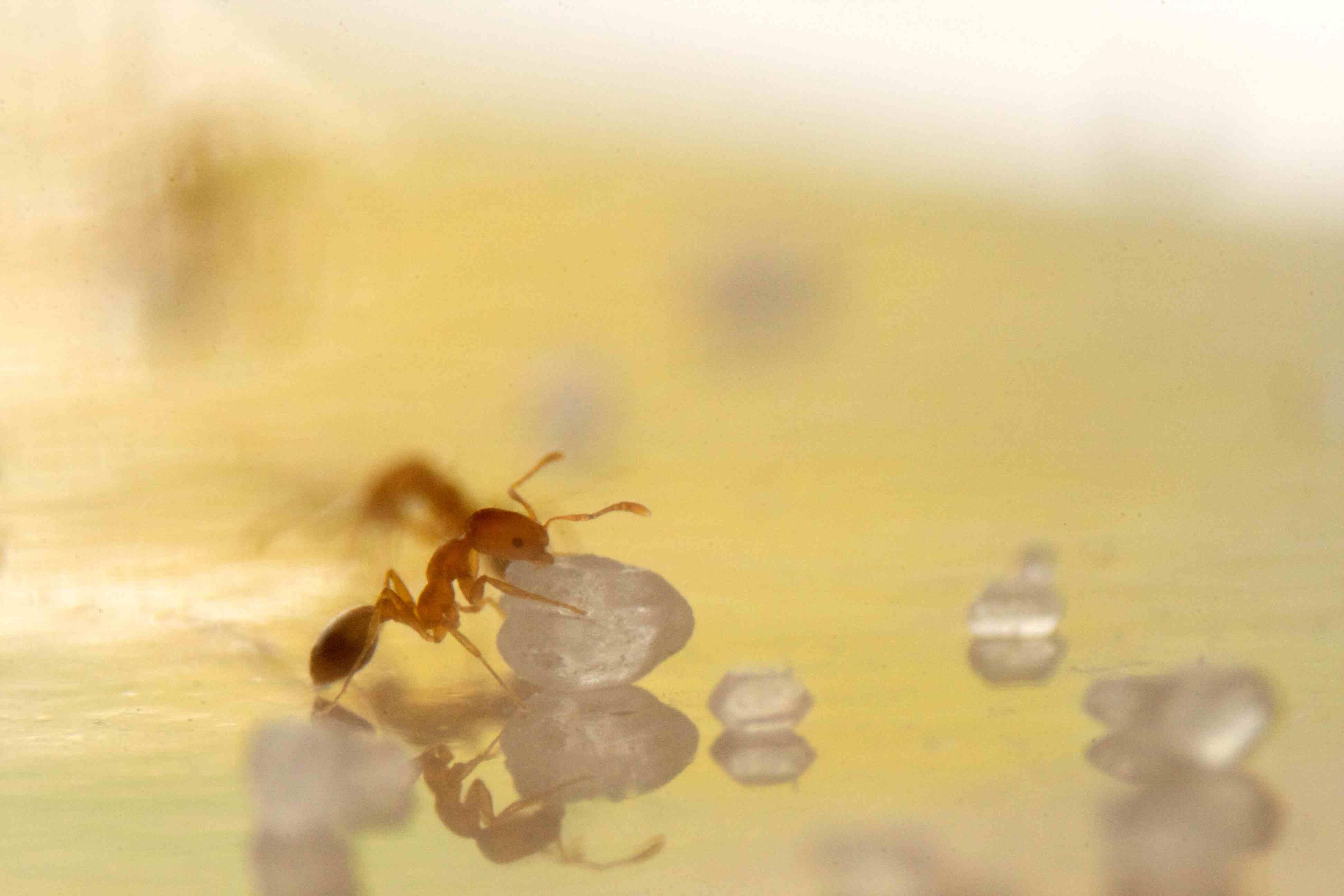 ant control for argentine and pharaoh antsplanet orange