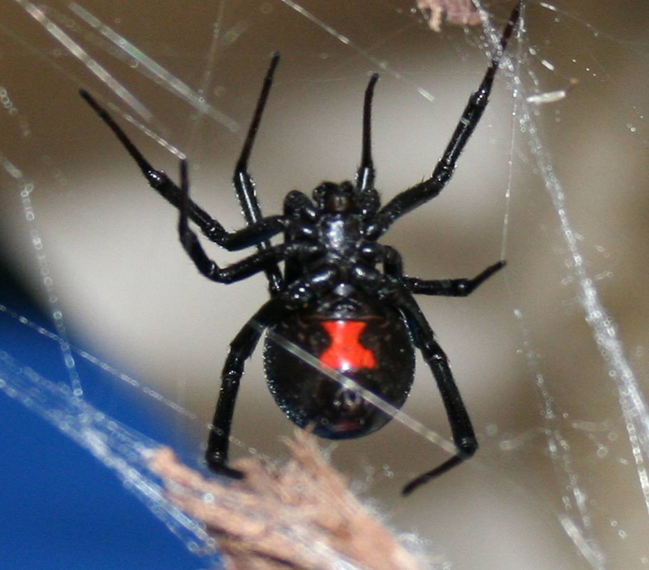 are black widow spiders deadly - HD1288×1131