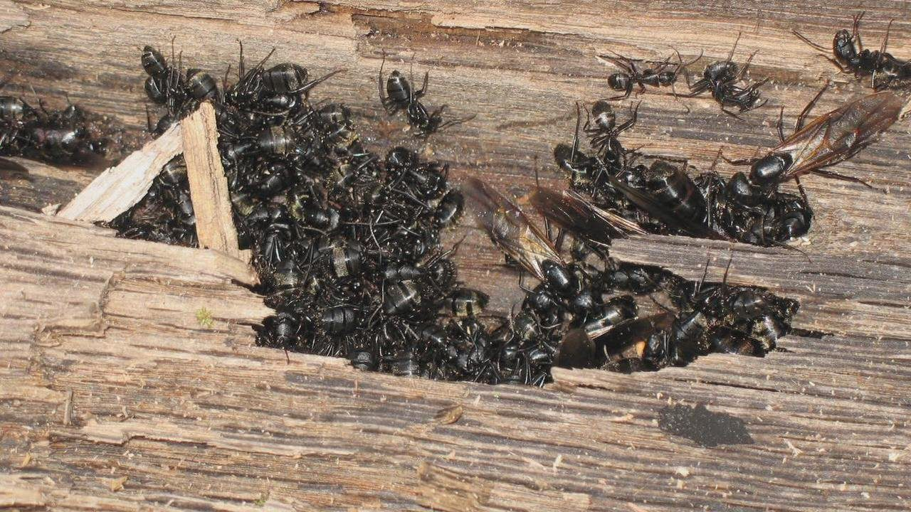 Carpenter Ants Damage Control In Bay Area By Planet Orange
