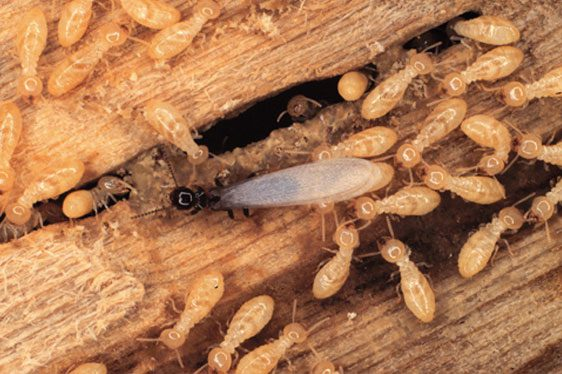 How To Prevent Flying Termite Infestation In Your Property Planet Orange